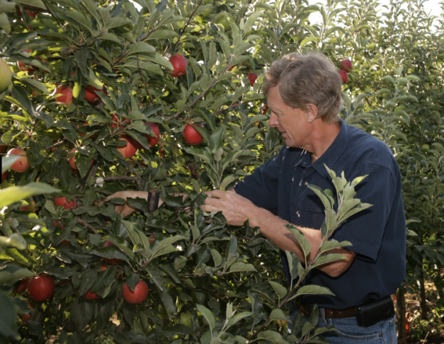 OSF President Neil Carter picks an Arctic apple