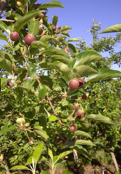 Branch of growing Arctic Apples from Washington State test block