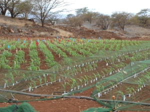 Young plants in marked rows.